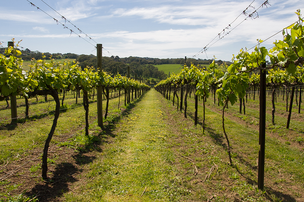 Young vines in the Morning Peninsula, Victoria, Australia