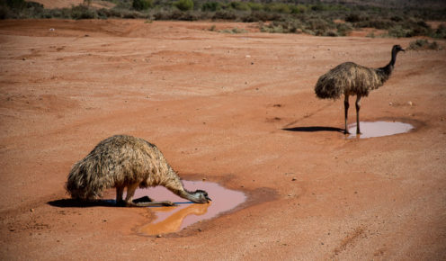 A couple (of emus) pause for some refreshment just outside Broken Hill in the heat of the day (photo: Jac Taylor).