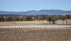 Mudgee vineyards (photo: Rebecca Xu).