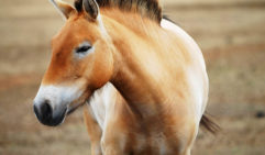 A stunning Przewalski's Horse, which you can see at Taronga Western Plains Zoo. Image via Taronga.org.au
