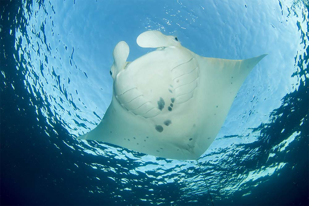 The majestic manta rays frequent Lady Elliot Island. Image: Tourism and Events Queensland
