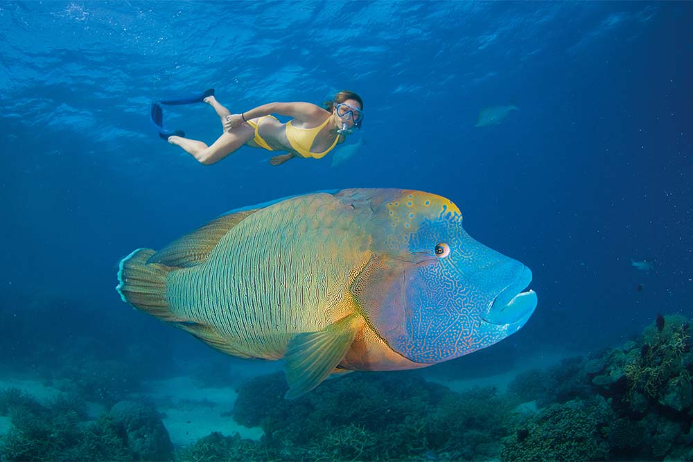 Part of the great eight, the Maori Wrasse is a friendly fish