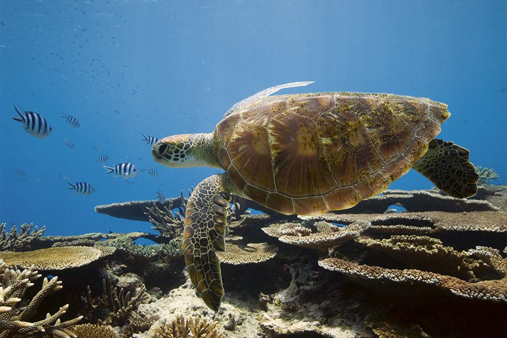 Encounter green turtles at Lady Elliot Island. Image: Tourism and Events Queensland