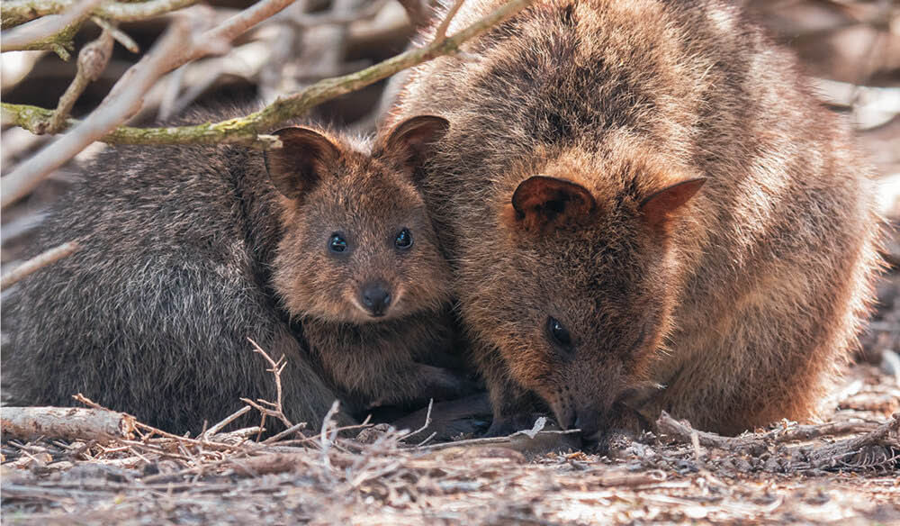 Get a selfie with the cute quokkas.