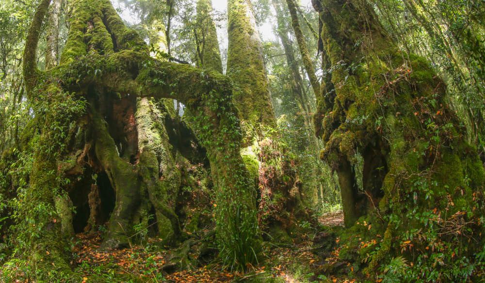These ancient Antarctic beech trees are about 7km along the Border Track from O'Reilly's Rainforest Retreat. Image via Kara Murphy