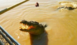 Crocodile Jumping Adelaide River, Northern Territory