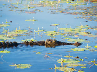Crocodile, Kakadu National Park
