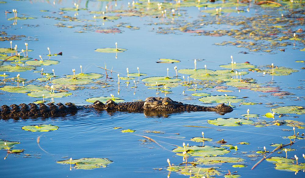 Crocodile on a billabong in Kakadu National Park