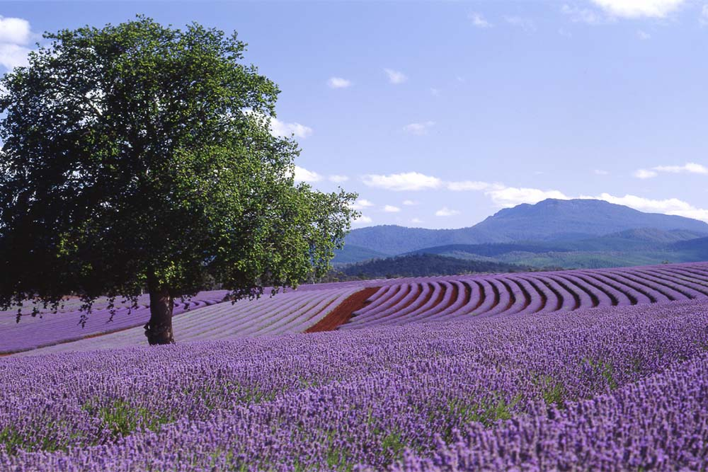 Row upon row of lavender in full bloom