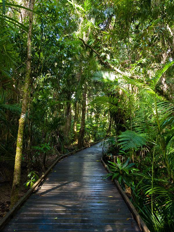 A beautiful boardwalk in the Daintree Rainforest.