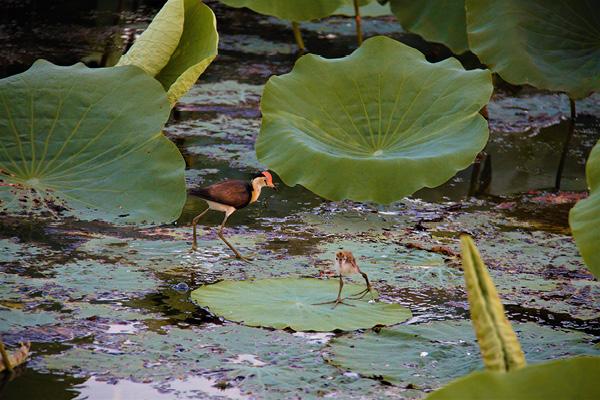 Jesus birds, Yellow Water Cruises, Kakadu.