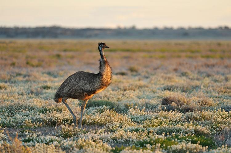 Emu, Australia