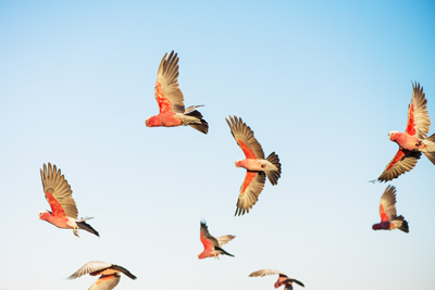 Galahs in the outback.
