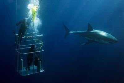 great white shark swim