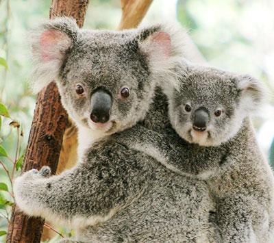 Koalas at Lone Pine Sanctuary