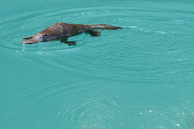 Platypus, Australia