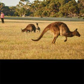 Kangaroos in South Australia