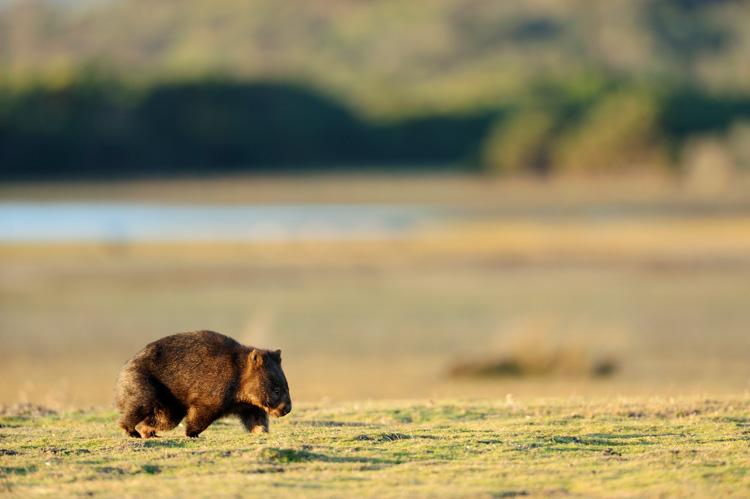 Wombat, Australia