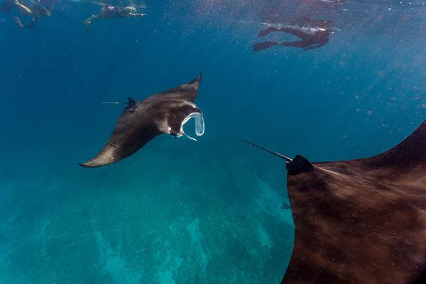 Manta rays ocean