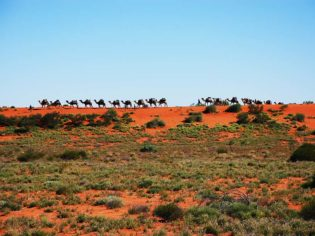 Australian Desert Expeditions camel trek