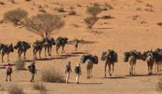 Camels walking in australian desert