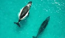 Aerial view of two whales in ocean