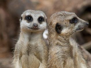 Meerkats at Taronga Zoo
