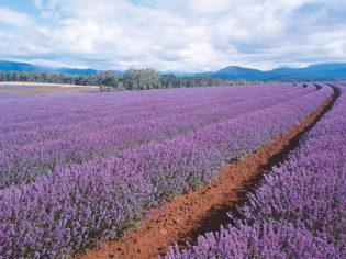 Tasmania lavender feilds