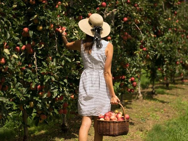 Pick Apples at t Darkes Glenbernie Orchard